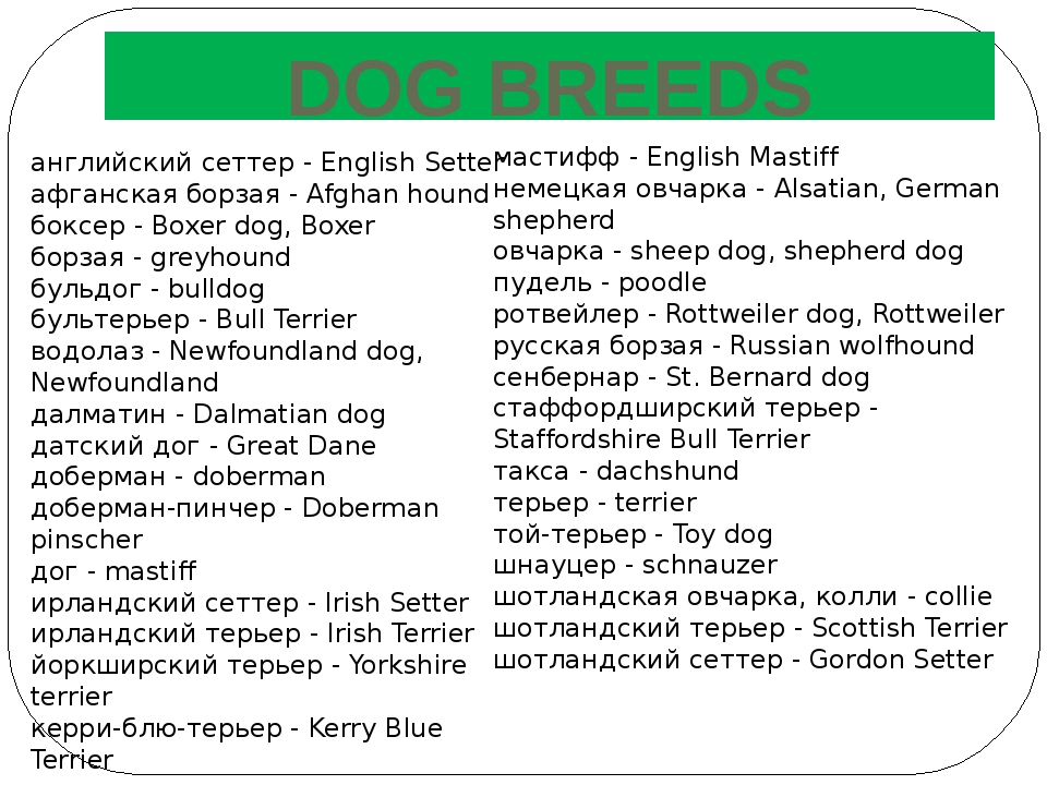 DOG BREEDS английский сеттер - English Setter афганская борзая - Afghan hound...