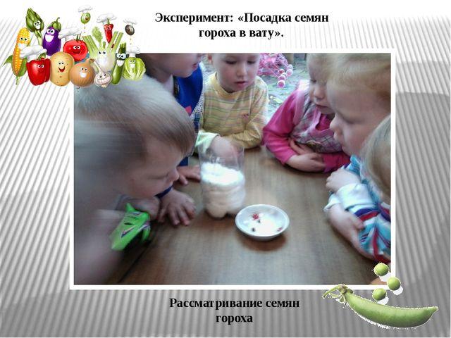 Рассматривание семян гороха Эксперимент: «Посадка семян гороха в вату».