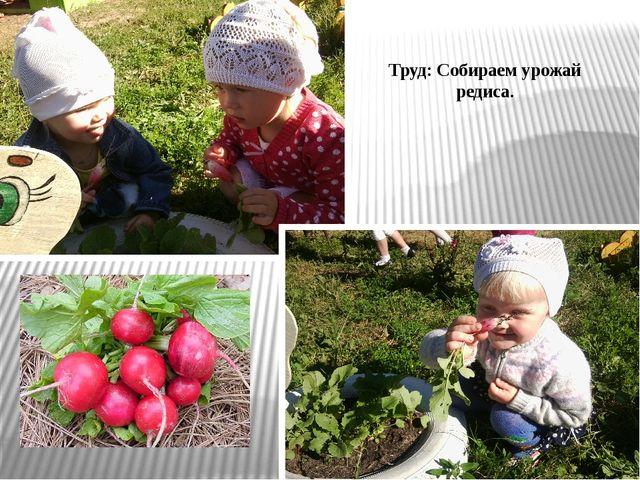 Труд: Собираем урожай редиса.