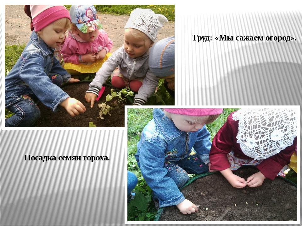Труд: «Мы сажаем огород». Посадка семян гороха.