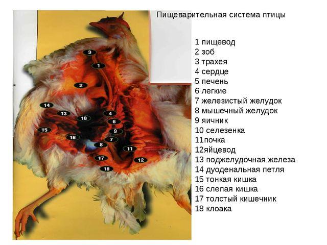 1 пищевод 2 зоб 3 трахея 4 сердце 5 печень 6 легкие 7 железистый желудок 8 м...