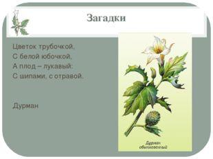 Загадки Цветок трубочкой, С белой юбочкой, А плод – лукавый: С шипами, с отра