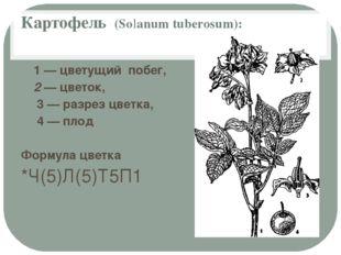 Картофель (Solanum tuberosum): 1 — цветущий побег, 2 — цветок, 3 — разрез цве