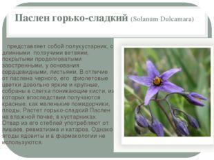 Паслен горько-сладкий (Solanum Dulcamara) представляет собой полукустарник, с