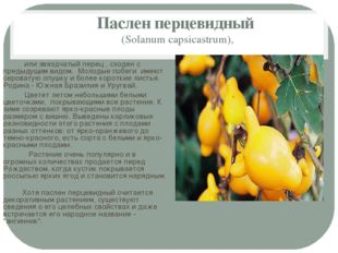 Паслен перцевидный (Solanum capsicastrum), или звездчатый перец , сходен с пр