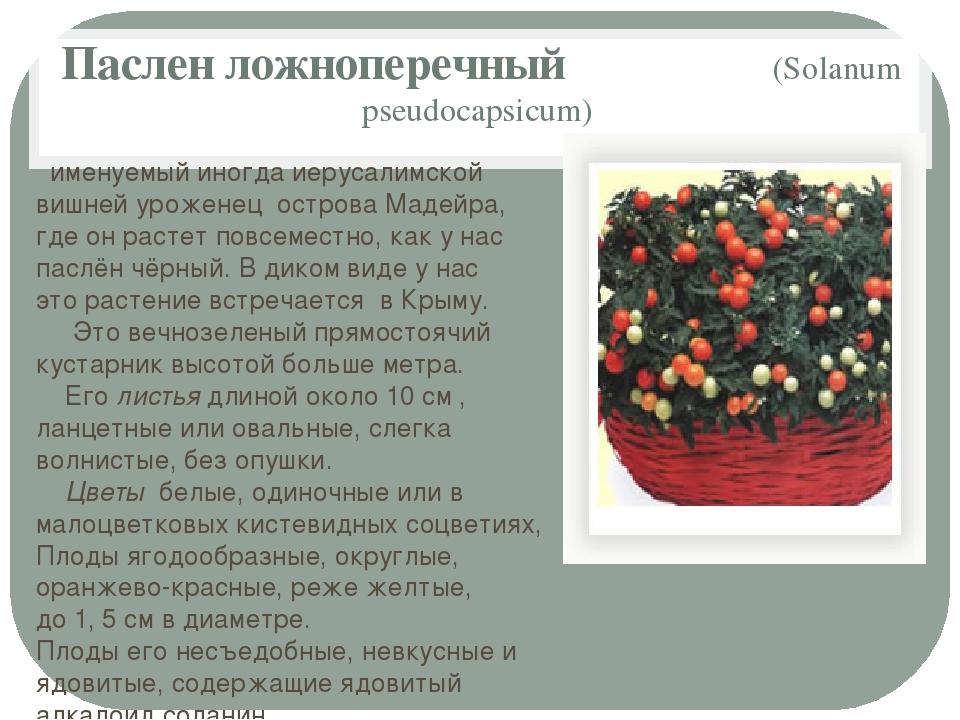 Паслен ложноперечный (Solanum pseudocapsicum) именуемый иногда иерусалимской...