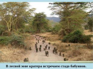 В лесной зоне кратера встречаем стадо бабуинов.