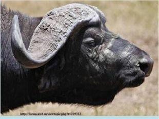 Кафрские буйволы