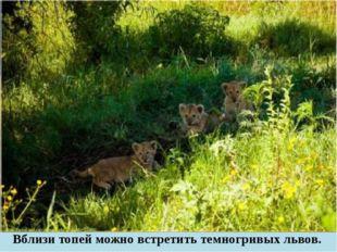 Вблизи топей можно встретить темногривых львов.