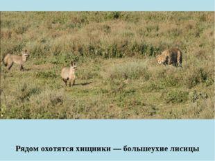 Рядом охотятся хищники — большеухие лисицы