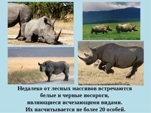 Недалеко от лесных массивов встречаются белые и черные носороги, являющиеся и