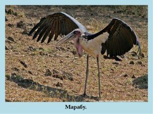 Марабу.