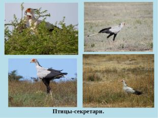 Птицы-секретари.