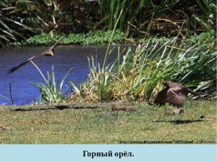 Горный орёл.