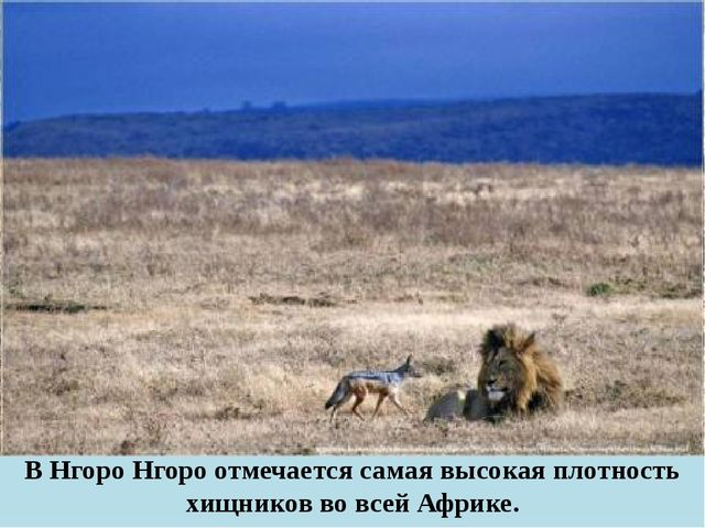 В Нгоро Нгоро отмечается самая высокая плотность хищников во всей Африке.