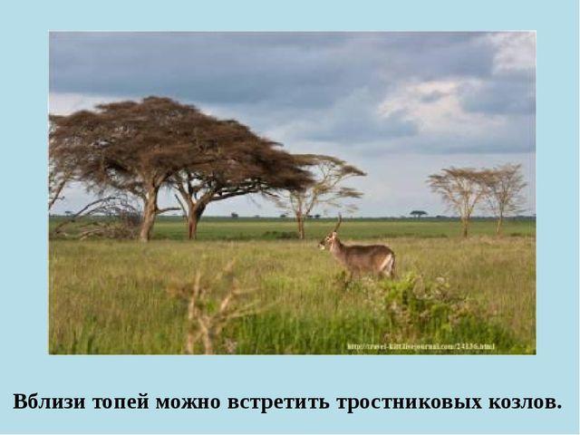 Вблизи топей можно встретить тростниковых козлов.