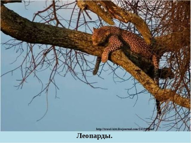 Леопарды.