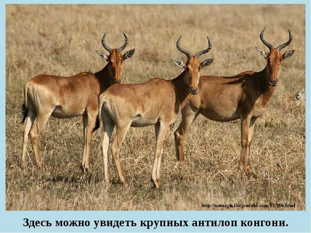 Здесь можно увидеть крупных антилоп конгони.
