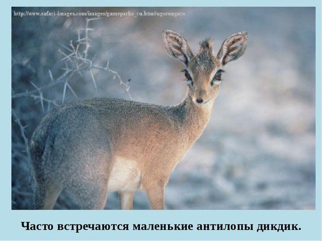 Часто встречаются маленькие антилопы дикдик.