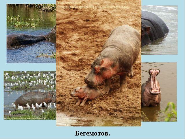 Бегемотов.