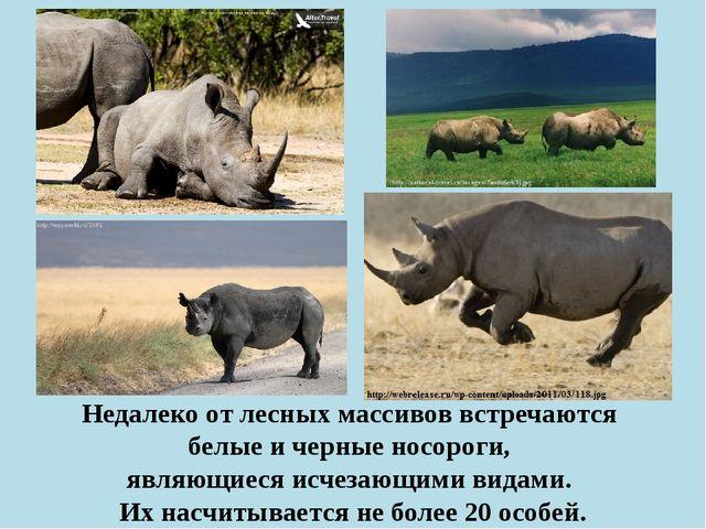 Недалеко от лесных массивов встречаются белые и черные носороги, являющиеся и...