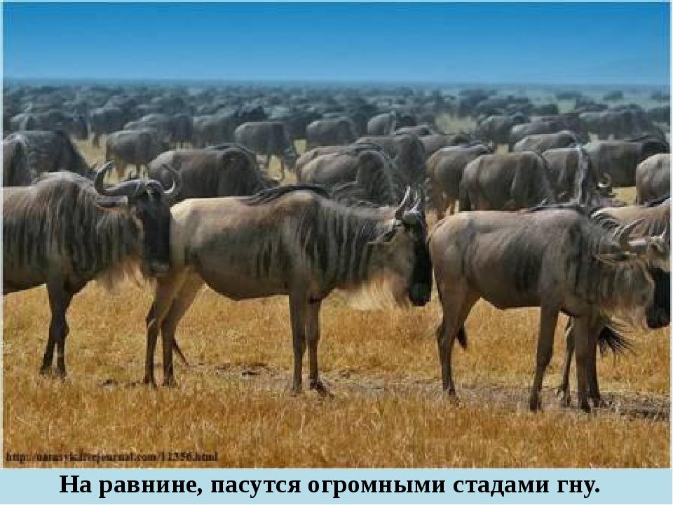 На равнине, пасутся огромными стадами гну.