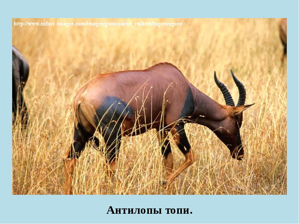 Антилопы топи.