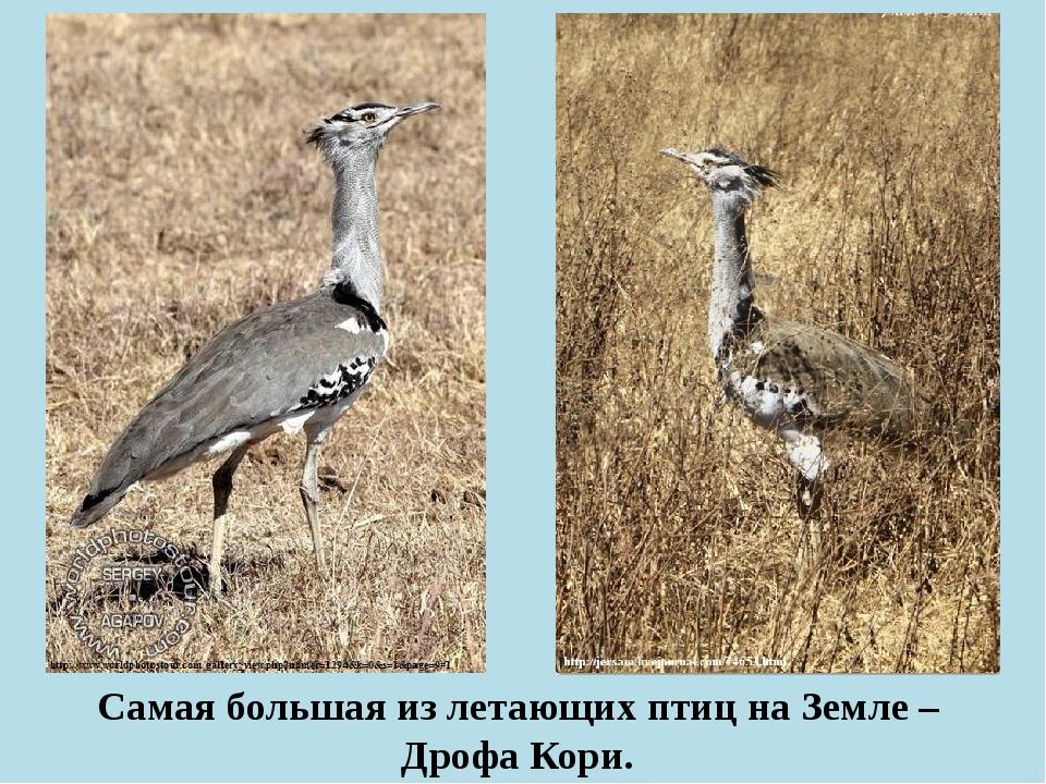 Самая большая из летающих птиц на Земле – Дрофа Кори.
