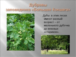 Дубы в этих лесах имеют разный возраст – от маленького дубочка до вековых «с