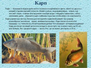 Карп — большая всеядная рыба жёлто-зеленого и коричневого цвета, имеет по дв