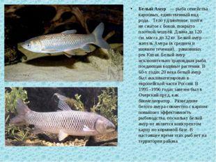 Белый Амур — рыба семейства карповых, единственный вид рода. Тело удлинённое,