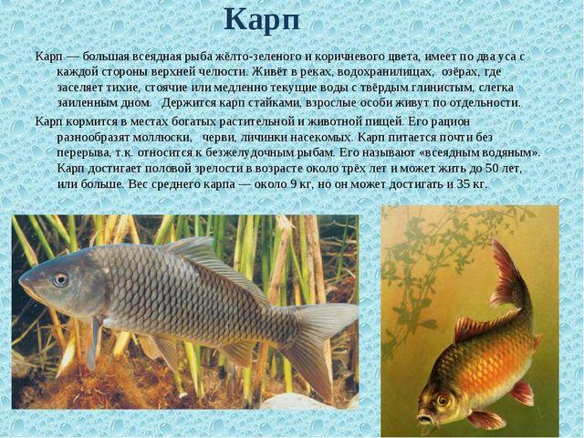 Карп — большая всеядная рыба жёлто-зеленого и коричневого цвета, имеет по дв...