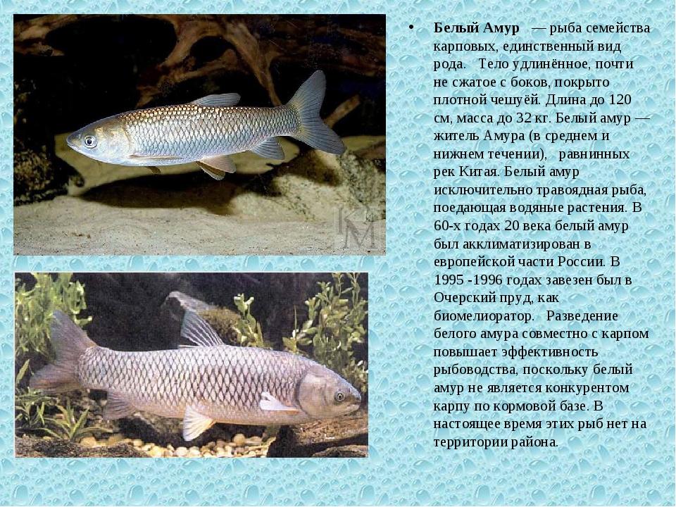 Белый Амур — рыба семейства карповых, единственный вид рода. Тело удлинённое,...