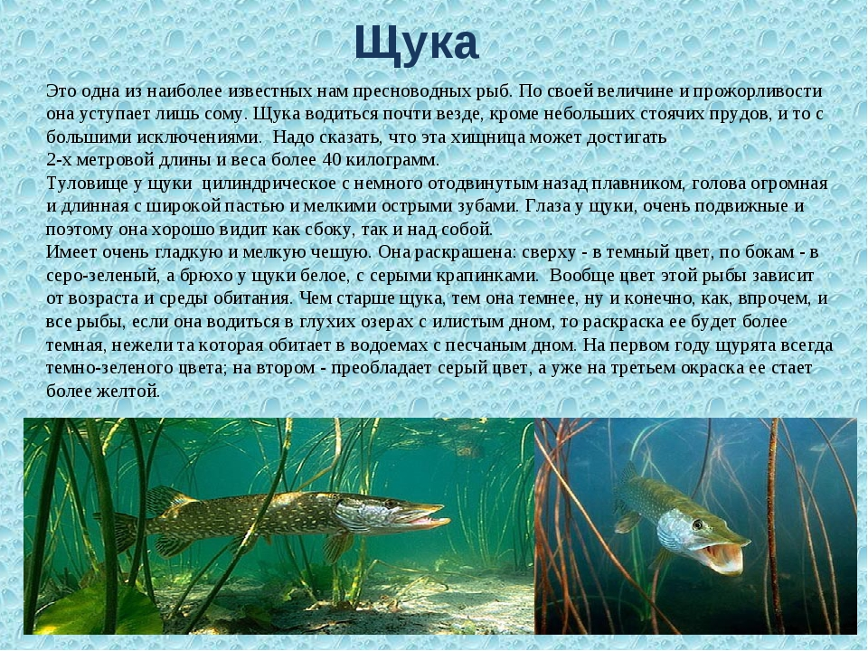 Щука Это одна из наиболее известных нам пресноводных рыб. По своей величине...
