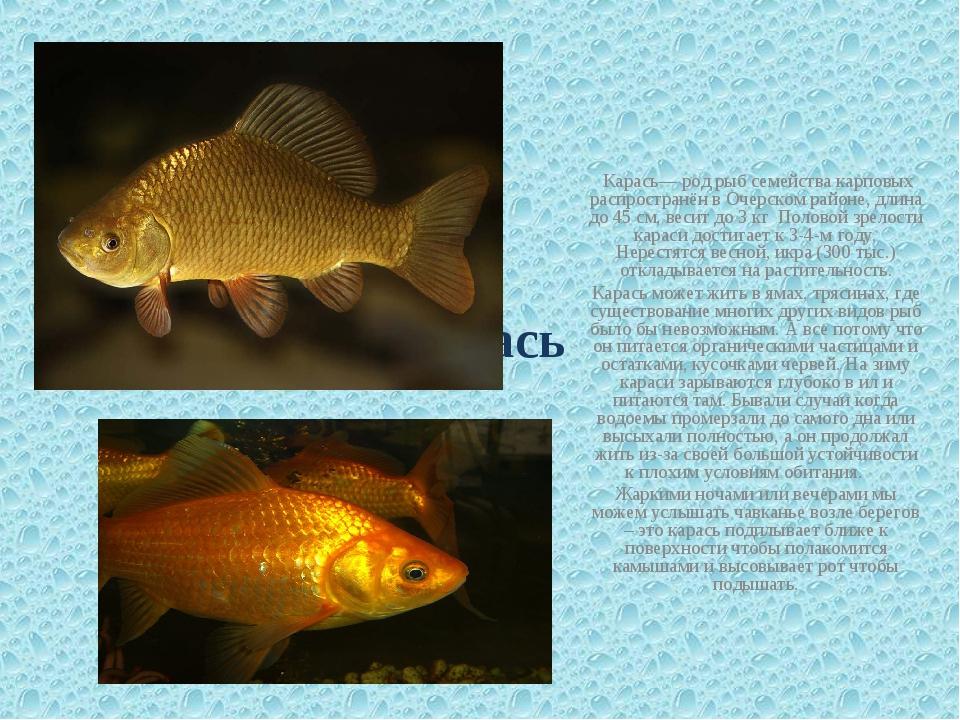Карась Карась— род рыб семейства карповых распространён в Очерском районе, д...