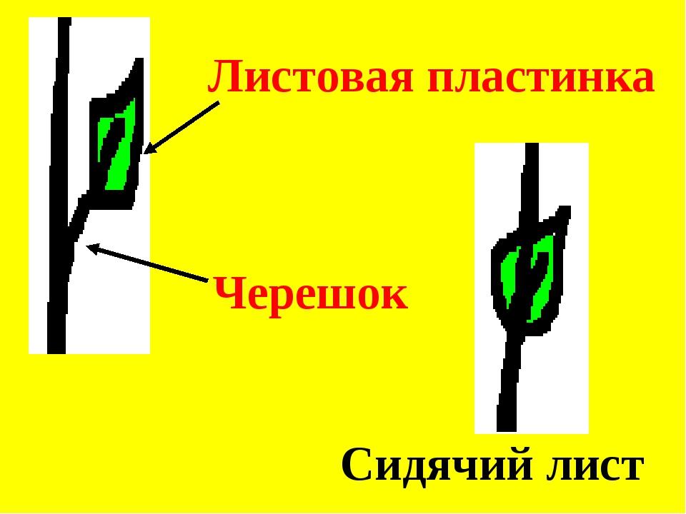 Листовая пластинка Черешок Сидячий лист