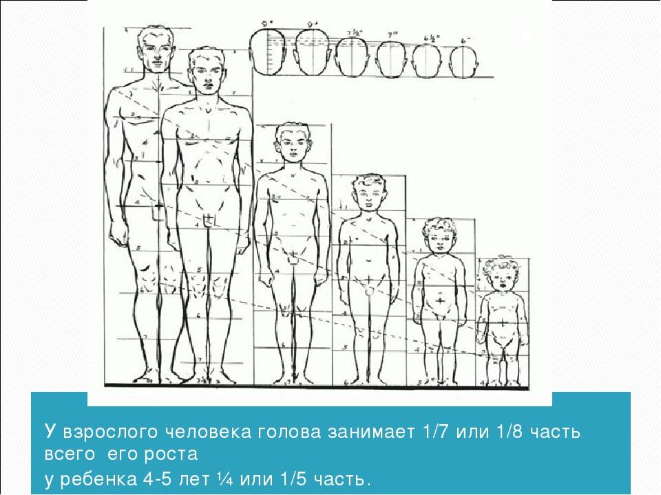 У взрослого человека голова занимает 1/7 или 1/8 часть всего его роста у реб...