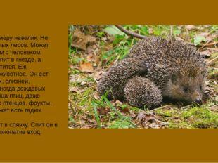 Еж по размеру невелик. Не любит густых лесов. Может жить рядом с человеком. Е