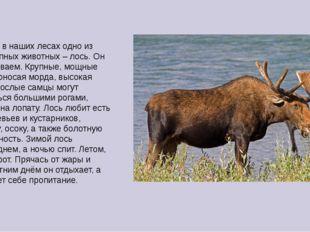 Царствует в наших лесах одно из самых крупных животных – лось. Он легко узнав