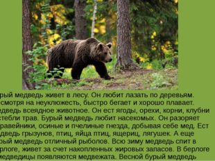 Бурый медведь живет в лесу. Он любит лазать по деревьям. Несмотря на неуклюже