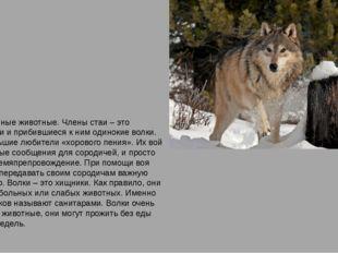 Волки – стайные животные. Члены стаи – это родственники и прибившиеся к ним о