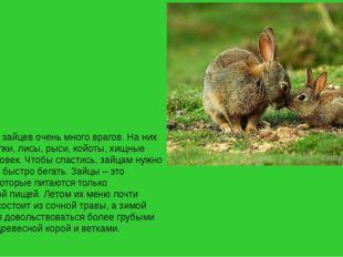 В природе у зайцев очень много врагов. На них охотятся волки, лисы, рыси, кой