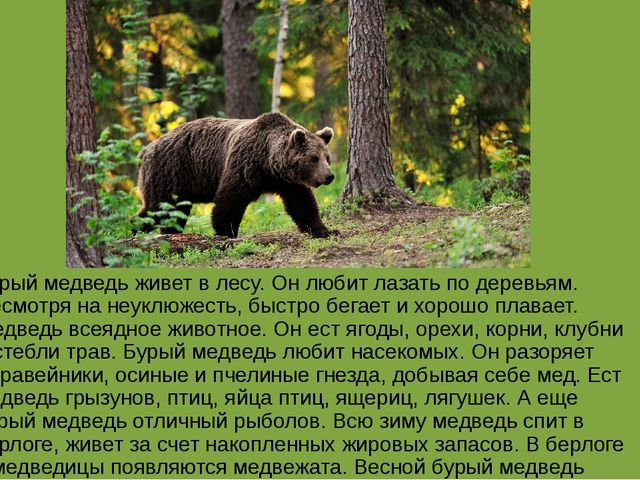 Бурый медведь живет в лесу. Он любит лазать по деревьям. Несмотря на неуклюже...