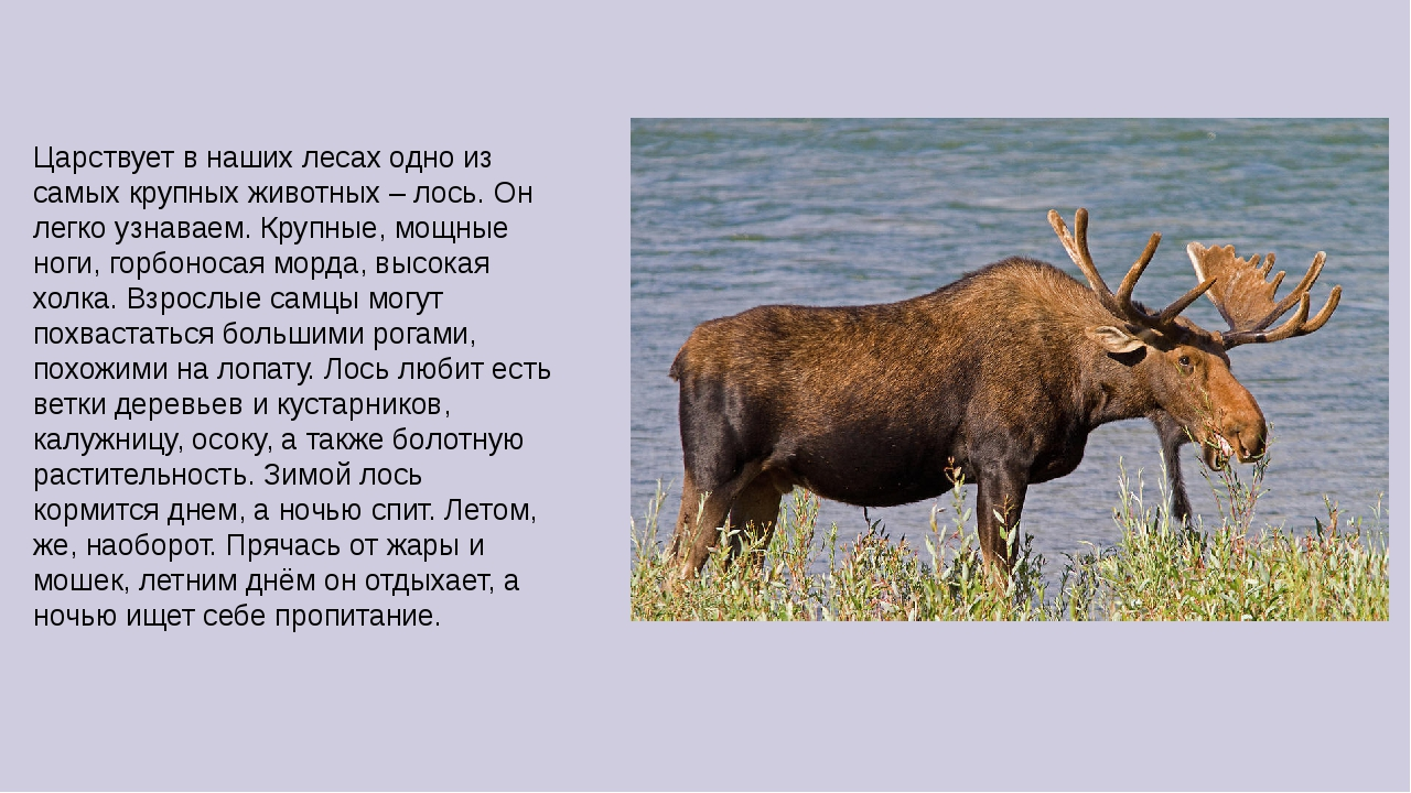 Царствует в наших лесах одно из самых крупных животных – лось. Он легко узнав...