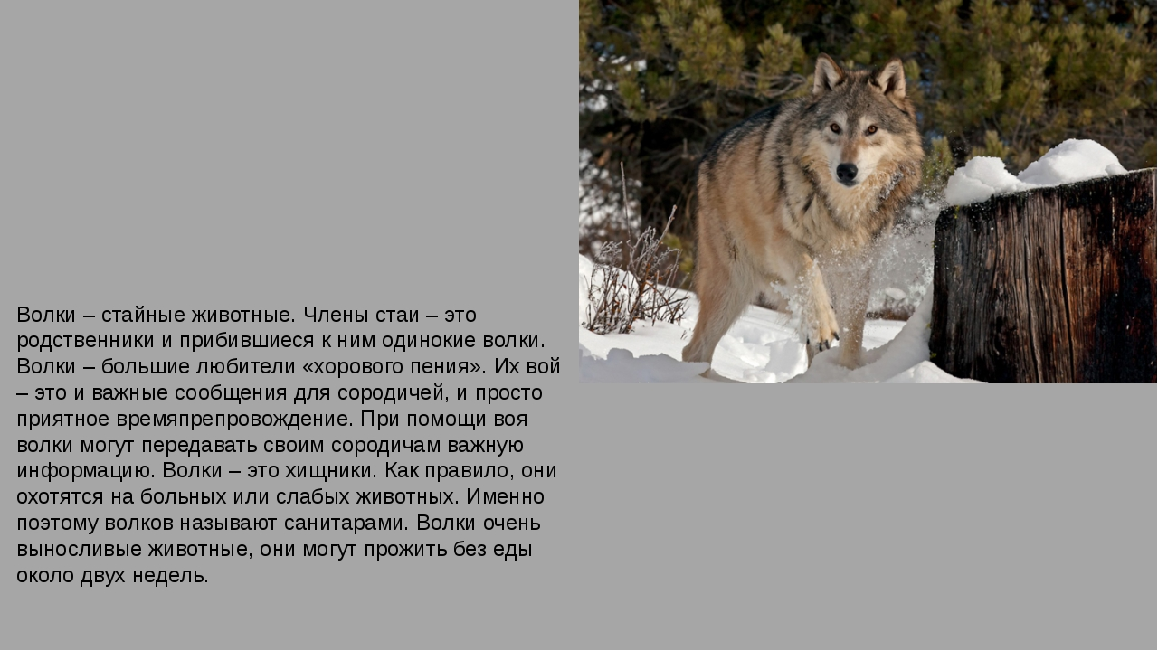 Волки – стайные животные. Члены стаи – это родственники и прибившиеся к ним о...