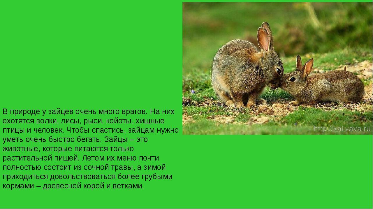 В природе у зайцев очень много врагов. На них охотятся волки, лисы, рыси, кой...