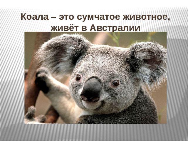Коала – это сумчатое животное, живёт в Австралии