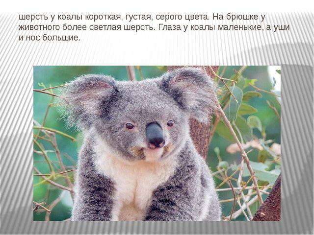 шерсть у коалы короткая, густая, серого цвета. На брюшке у животного более св...