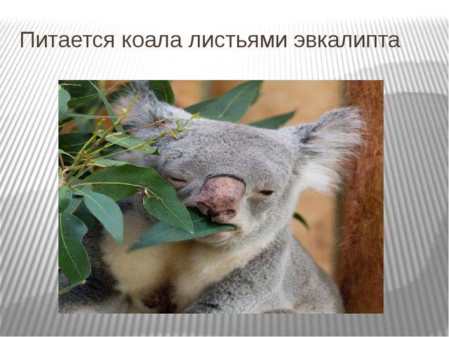 Питается коала листьями эвкалипта