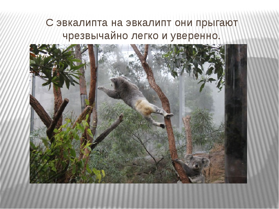С эвкалипта на эвкалипт они прыгают чрезвычайно легко и уверенно.